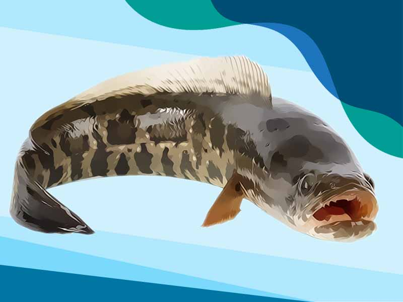 Harga Kapsul Ikan Gabus Di Apotik