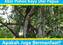 Kegunaan Kayu Ular Papua